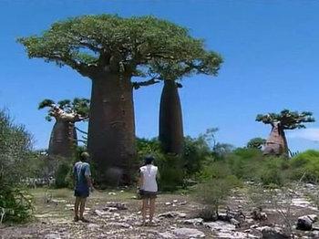 バオバブの木.jpg